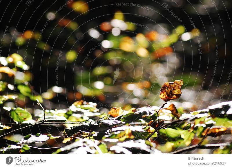 Warmer Herbst Umwelt Natur Sonnenlicht Schönes Wetter Baum Blatt verblüht dehydrieren schön Wärme Stimmung Verfall Vergänglichkeit Wandel & Veränderung Farbfoto
