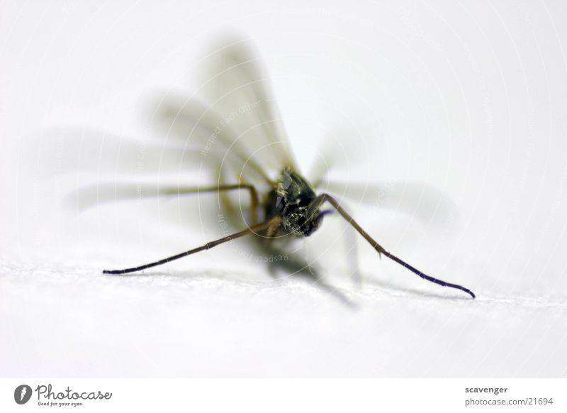 Mücke weiß schwarz Fliege groß nah Insekt Stechmücke