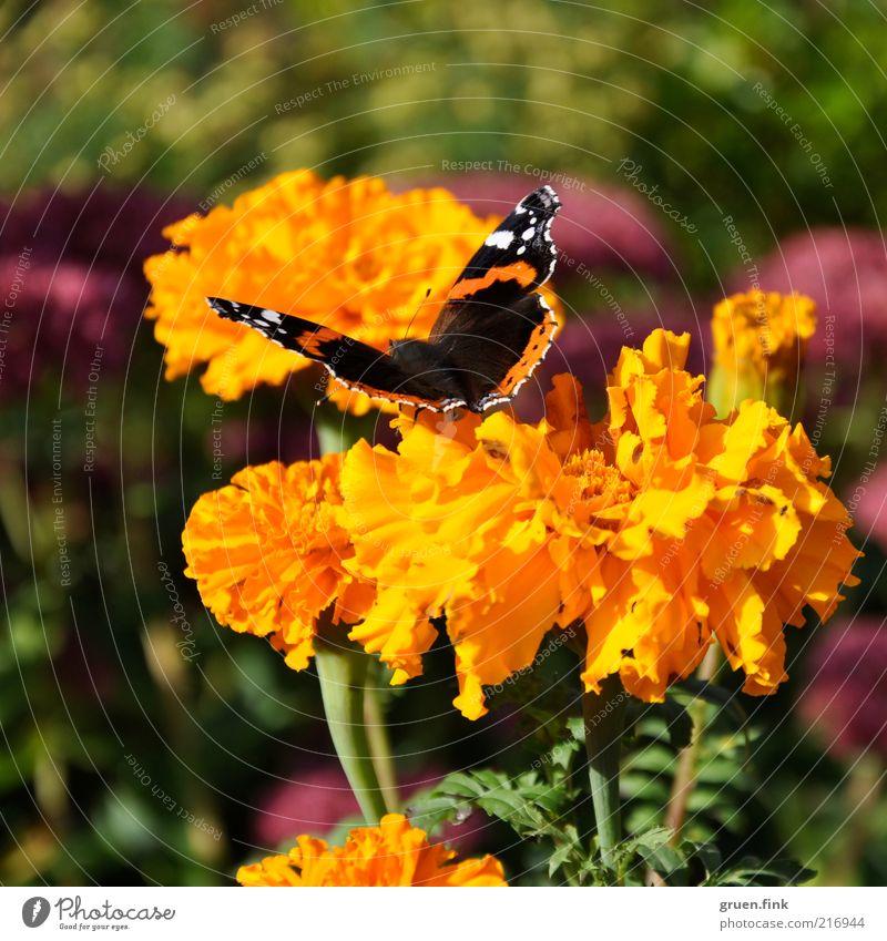 Admiral Natur schön Blume grün Pflanze Sommer Tier gelb Blüte Garten Wärme orange rosa ästhetisch Idylle Schmetterling