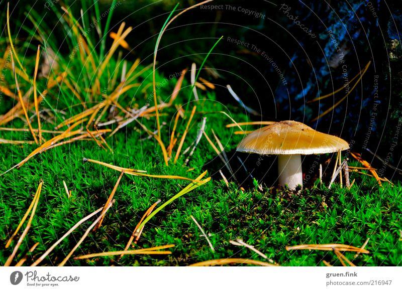 fungi Natur Pflanze Herbst Baum Gras Moos Pilz schön braun grün Einsamkeit entdecken Tannennadel Farbfoto Außenaufnahme Nahaufnahme Menschenleer