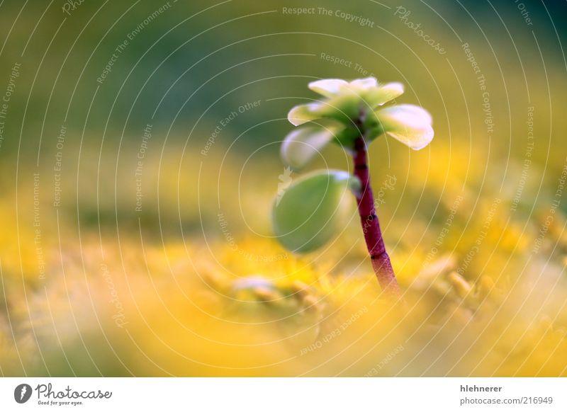 Natur Blume grün Pflanze Sommer Blatt gelb Leben Europa stehen Boden Top Botanik Tiefenschärfe Blütenknospen Pollen