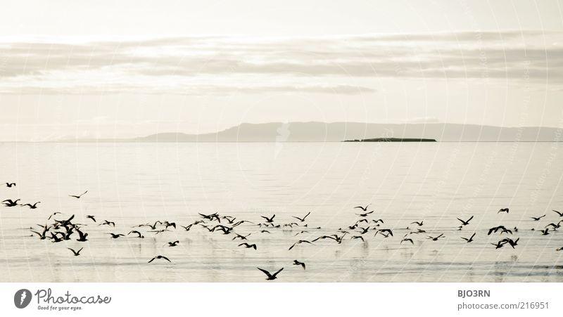 When a day ends like this | Iceland Landschaft Tier Wasser Himmel Sonnenaufgang Sonnenuntergang Sommer Wildtier Vogel Tiergruppe Schwarm fliegen ästhetisch