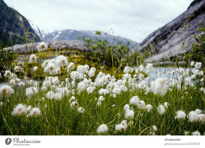 Wollblumen in Nigardsbreen, Norwegen ruhig Ferien & Urlaub & Reisen Tourismus Ausflug Abenteuer Ferne Freiheit Expedition Camping Berge u. Gebirge wandern