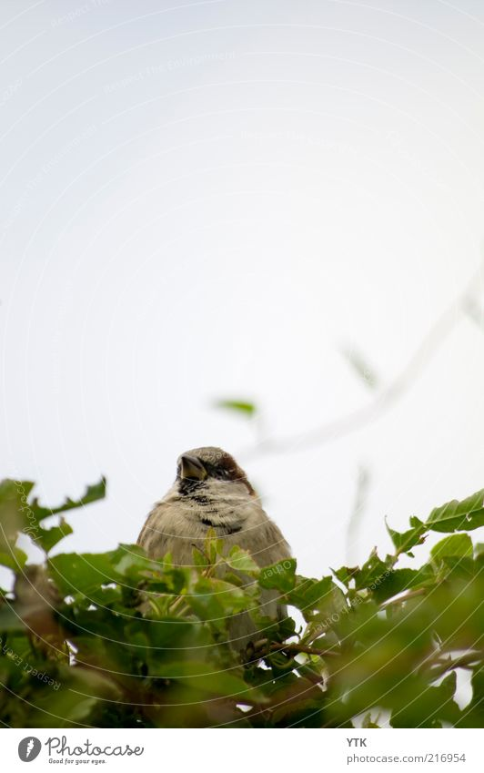 Der dicke Spatz! Natur grün Pflanze Sommer Blatt Tier Umwelt Vogel lustig Wetter sitzen natürlich Wildtier beobachten Neugier niedlich