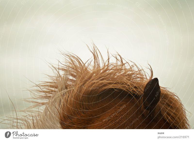 Hört sich gut an Tier Wind Wetter Pferd Ohr Sturm Fell hören Ponys Mähne Nutztier Textfreiraum links Føroyar Island Ponys Fellfarbe