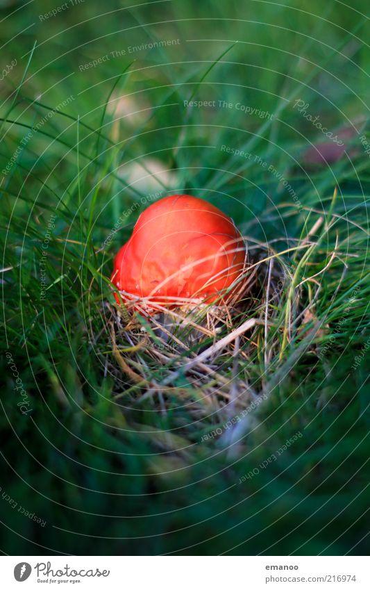 Herbst.Ei. Umwelt Natur Pflanze Klima Wetter Gras Wildpflanze klein grün rot Pilz Fliegenpilz Grasbüschel Gift Farbfoto mehrfarbig Außenaufnahme Nahaufnahme