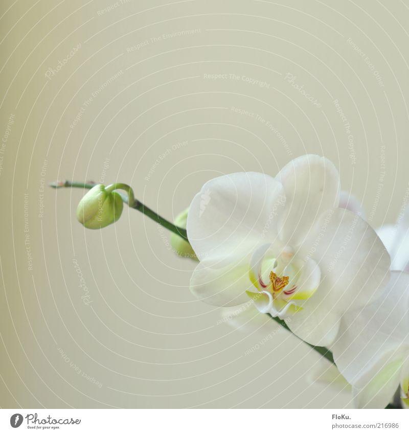 Mädchen-Orchideen-Foto weiß grün schön Pflanze Blume Blüte hell Zufriedenheit ästhetisch Fröhlichkeit zart Freundlichkeit Blühend Stengel Blütenknospen beige