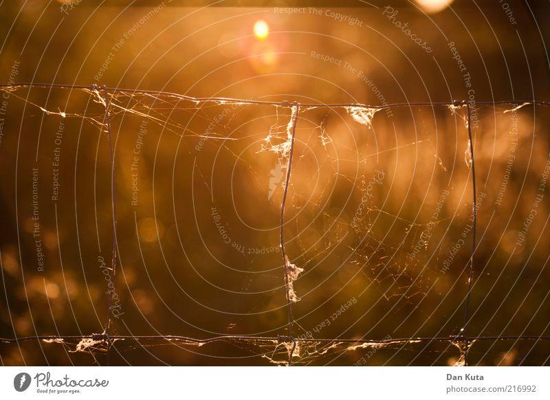 Herbstgold Sonnenlicht Draht Zaun Spinnennetz Spinngewebe leuchten Unschärfe Gegenlicht zerbrechlich Wärme zeitlos Farbfoto mehrfarbig Außenaufnahme