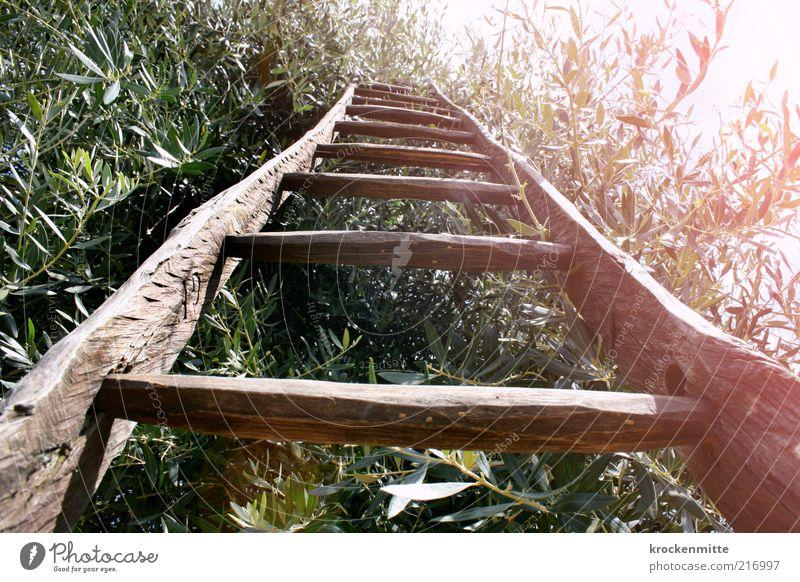 Olivensprossen Umwelt Natur Pflanze Sommer Baum Olivenbaum Leiter Leitersprosse Arbeit & Erwerbstätigkeit heiß Wärme grün Blatt Holz Blätterdach Ernte
