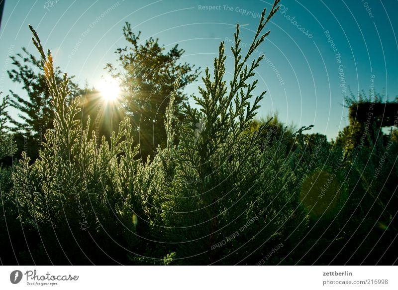 Thuja am Morgen Natur Sonne Pflanze Leben Herbst Park Umwelt Wachstum Sträucher Tau Sonnenuntergang Hecke Grünpflanze Detailaufnahme Wolkenloser Himmel Naturwuchs