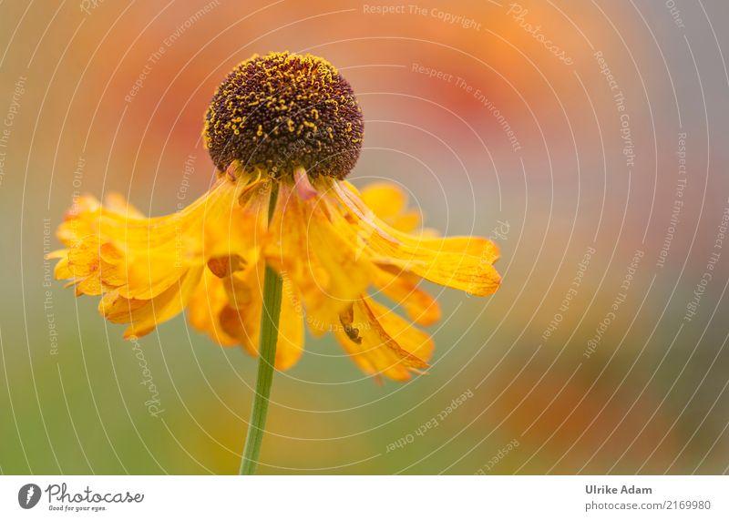 Sonnenbraut harmonisch Erholung ruhig Meditation Dekoration & Verzierung Natur Pflanze Sommer Herbst Blume Blüte Helenium Herbstfärbung Stauden Blütenstempel