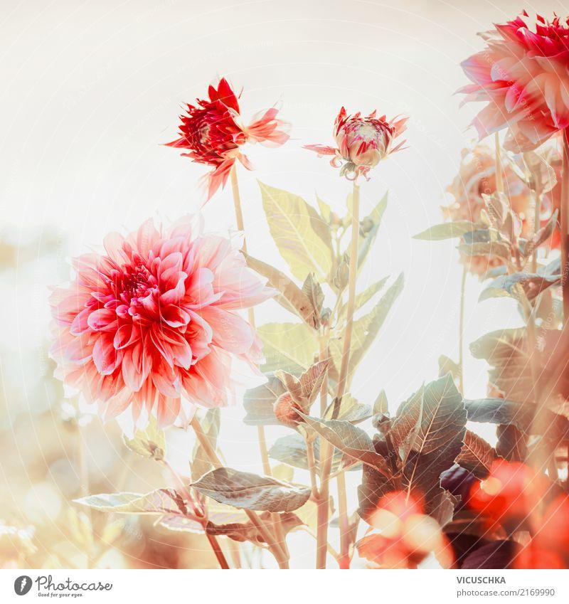Schöne Dahlien im Garten Natur Pflanze Sommer Blume rot Blatt Lifestyle Blüte Herbst rosa Design Park Schönes Wetter Blühend weich