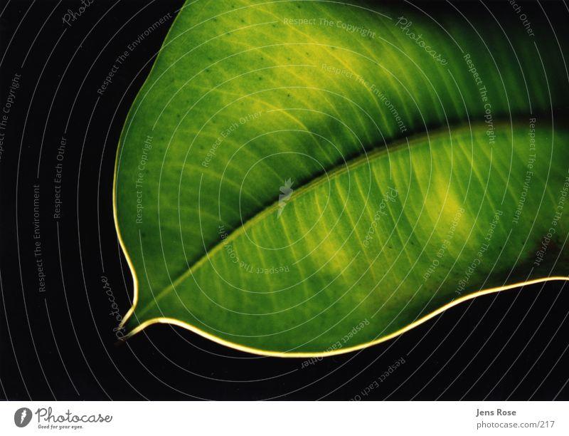 blatt Natur grün Pflanze Blatt Bioprodukte Photosynthese Makroaufnahme