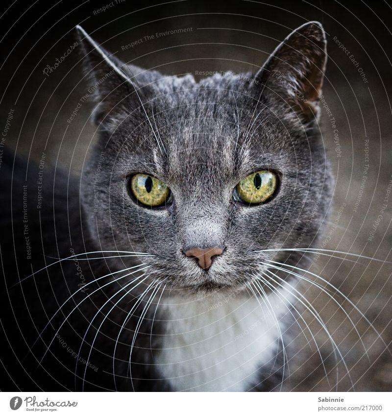 Poser Tier Haustier Katze 1 ästhetisch grau grün schwarz weiß Schnurrhaar Auge Ohr Nase Hauskatze Farbfoto Gedeckte Farben Außenaufnahme Nahaufnahme Tag
