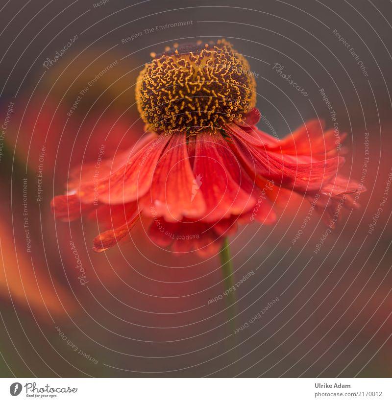 Die Tänzerin Natur Pflanze Sommer schön Blume rot ruhig Wärme gelb Blüte Herbst Innenarchitektur Stil Garten Design Dekoration & Verzierung