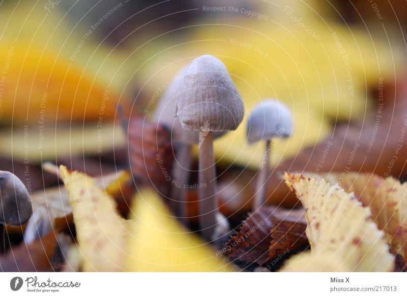 Männlein 1 Natur Herbst Blatt Wachstum klein Pilz Herbstlaub herbstlich Gift Farbfoto Außenaufnahme Nahaufnahme Makroaufnahme Menschenleer