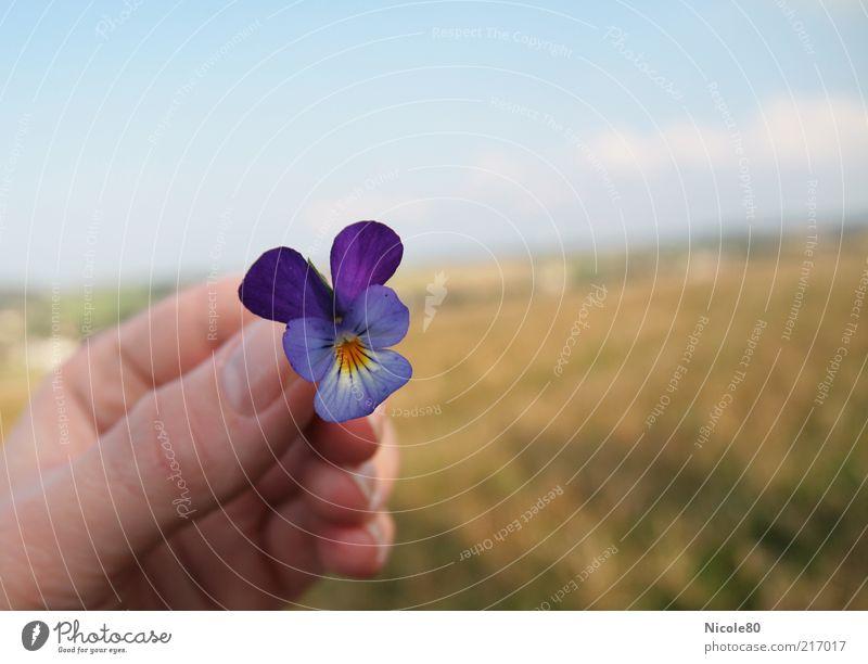 wildes stiefmütterchen Natur Hand blau Pflanze Herbst Blüte Landschaft frisch violett zart festhalten zeigen Blume Mensch Stiefmütterchen gepflückt