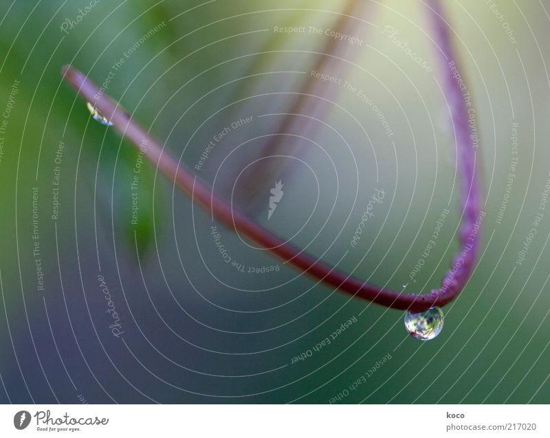 Tropfen elegant schön Natur Wassertropfen Frühling Herbst Stengel Bogen hängen Flüssigkeit nass grün violett rosa Optimismus Reinheit einzigartig rein Farbfoto