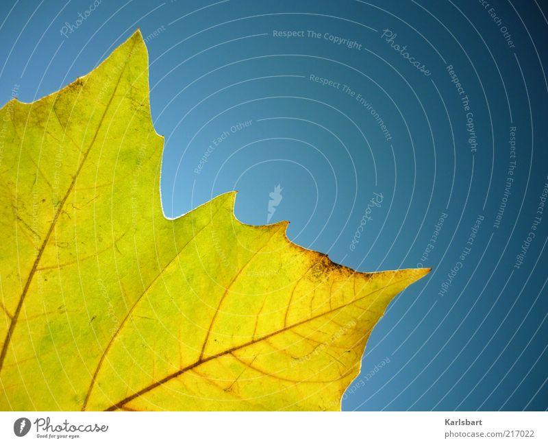 ye ll ow Natur Himmel Pflanze Blatt gelb Herbst gold Wandel & Veränderung Schönes Wetter harmonisch Anschnitt Blattadern Herbstlaub herbstlich