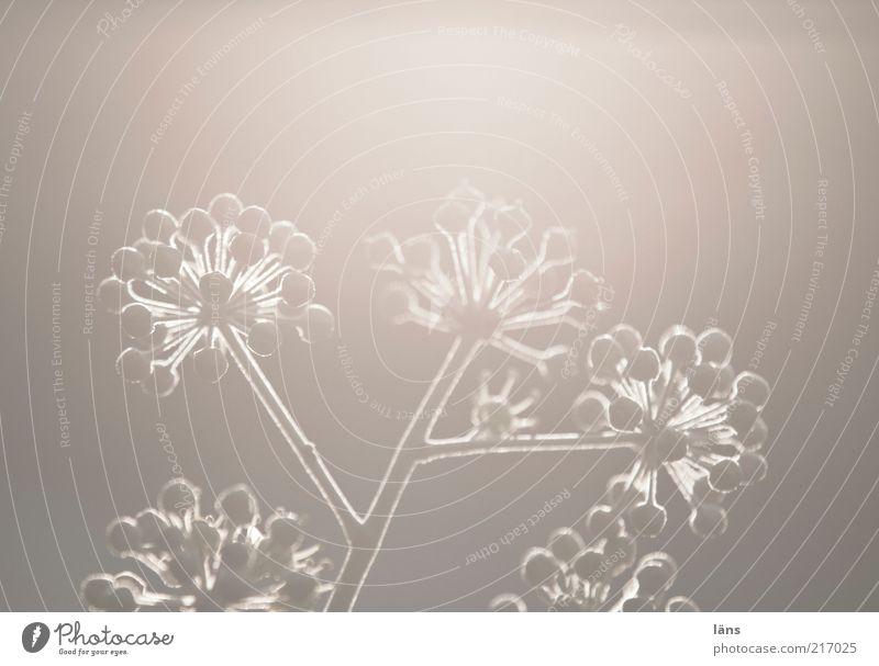 gegenlicht Umwelt Natur Pflanze Herbst Efeu Blühend ästhetisch außergewöhnlich Stimmung Surrealismus Wachstum Doldenblüte Efeudolde Frucht Efeublüte strahlend