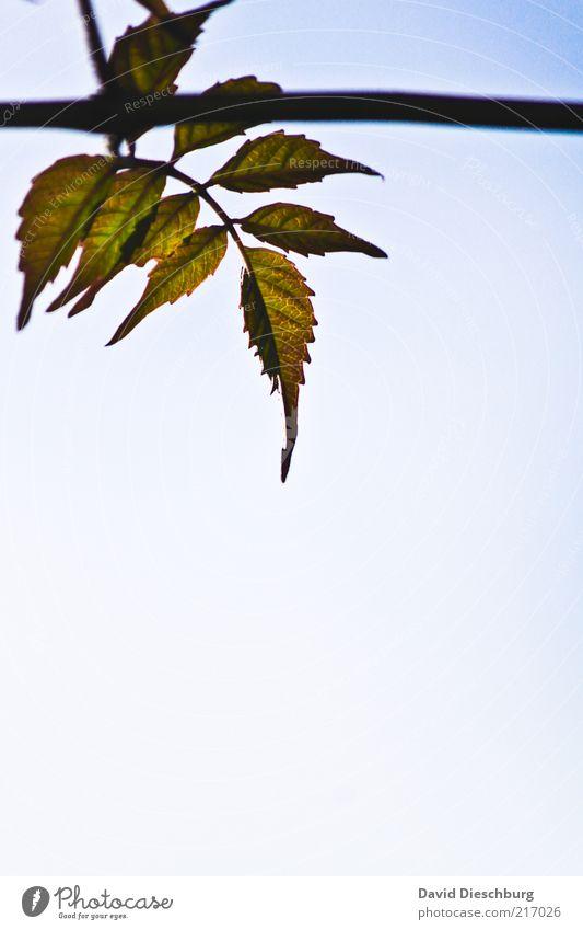 Platz zum wachsen Natur blau weiß grün schön Sommer Pflanze Blatt Luft Wachstum Ast Zweig hängen Wolkenloser Himmel Grünpflanze Hochformat
