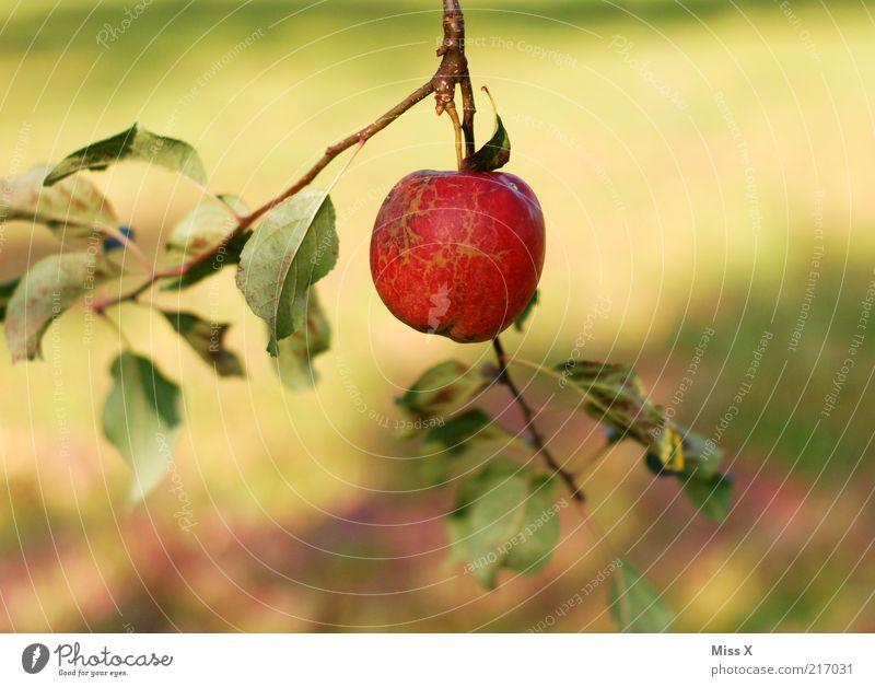 Äpfelchen Lebensmittel Frucht Apfel Ernährung Bioprodukte Vegetarische Ernährung Natur Sommer Herbst Baum Blatt Garten hängen frisch klein lecker rund saftig