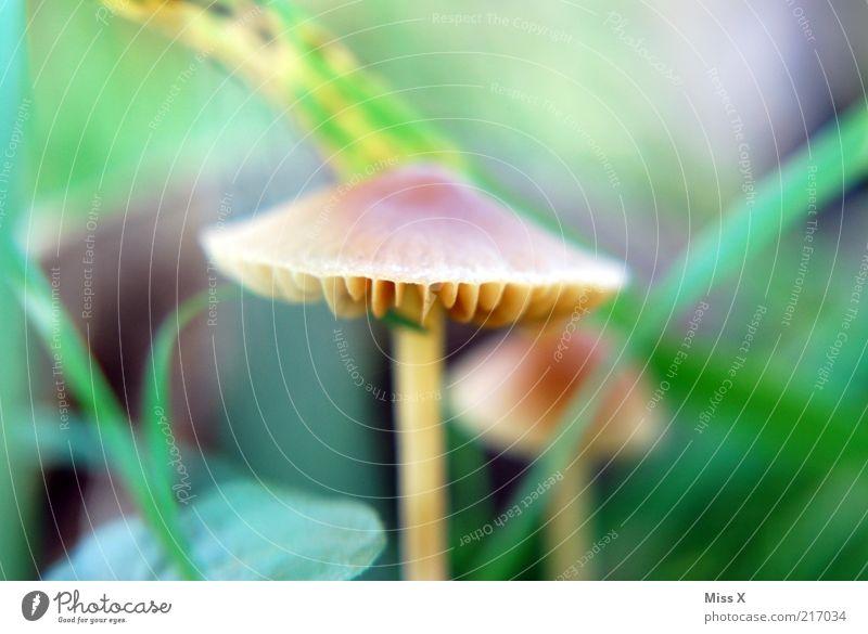 Männlein 2 Natur Herbst Wachstum klein Pilz Pilzhut Lamelle herbstlich Farbfoto mehrfarbig Außenaufnahme Makroaufnahme Menschenleer Schwache Tiefenschärfe