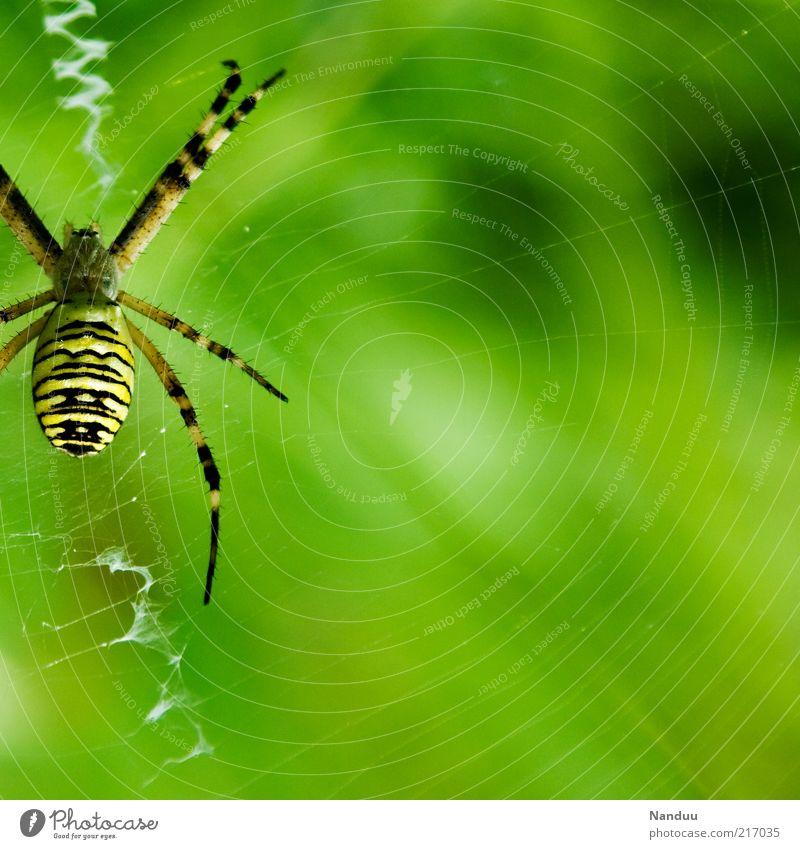 Achtbeiner Tier Wildtier Spinne 1 gelb Wespenspinne Spinnennetz Natur Warnfarbe gestreift natürlich Spinnenbeine Unschärfe Farbfoto mehrfarbig Außenaufnahme