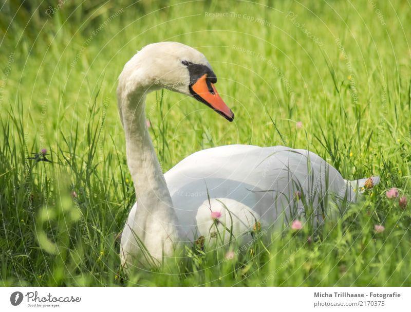 Schwan auf der Wiese Natur Pflanze grün weiß Sonne Blume Erholung Tier gelb Umwelt Gras Vogel Kopf liegen Wildtier