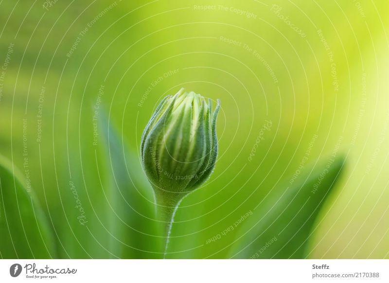 Ton in Ton | Nachzügler Natur Pflanze Sommer schön grün Blume gelb Blüte Garten Beginn Blühend neu Blütenknospen Vorfreude Blütenstauden September