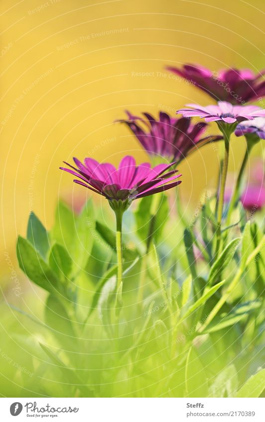 Kapkörbchen im warmen Sonnenlicht Osteospermum Korbblütler Kapmargeriten Bornholmmargerite Asteraceae Balkonblumen Osteospermum ecklonis Zierpflanzen
