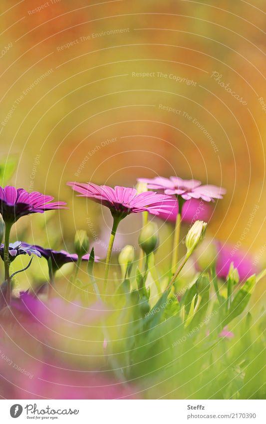 die Kapkörbchen blühen Osteospermum Osteospermum ecklonis Kapmargeriten Korbblütler Bornholmmargerite Asteraceae Balkonblumen Zierpflanzen Blütenknospen
