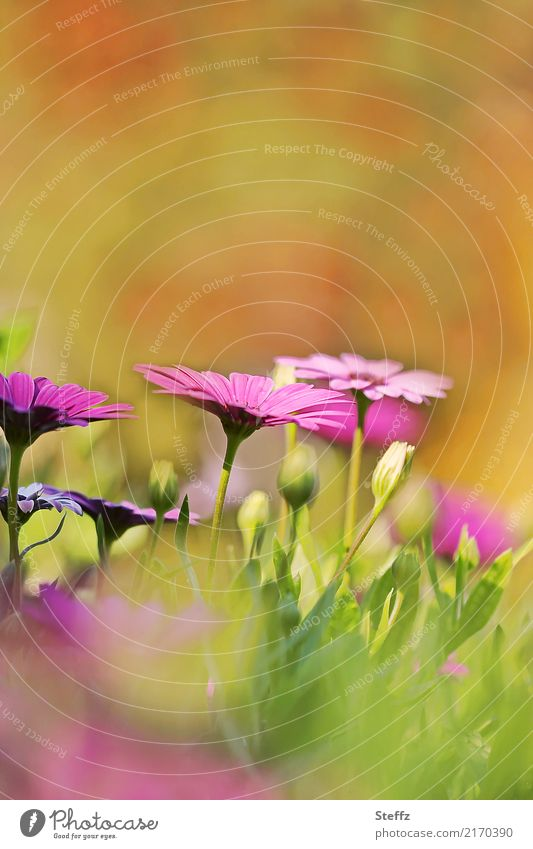 dieses Sommergefühl Natur Schönes Wetter Pflanze Blume Blüte Sommerblumen Gartenpflanzen Sommerblumenbeet Park Blühend schön Wärme gelb grün orange rosa