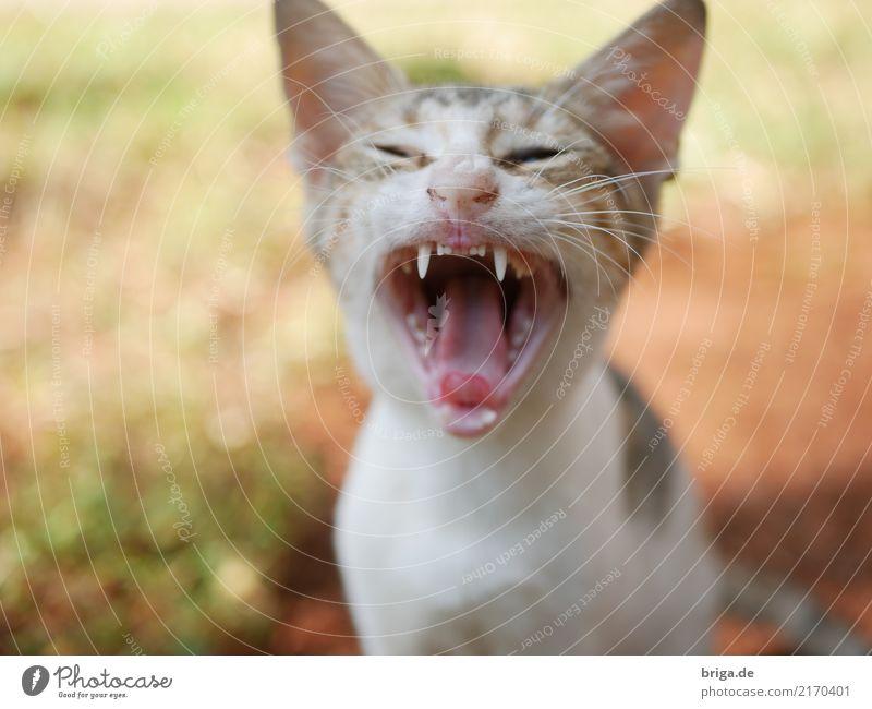 gerade erwacht Katze Natur Ferien & Urlaub & Reisen Tier Freude Tierjunges Zufriedenheit Perspektive bedrohlich Pause Gelassenheit Gebiss Leidenschaft Müdigkeit