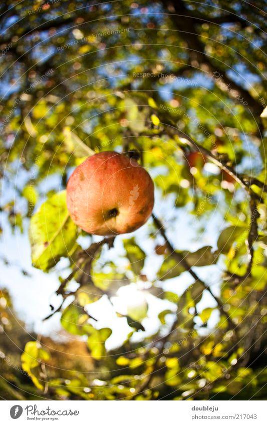 ein apfel fällt nicht weit vom stamm Apfel rot Gesundheit Vitamin Natur natürlich Wachstum ökologisch hängend Baum Apfelbaum Herbst Jahreszeiten Himmel Oktober