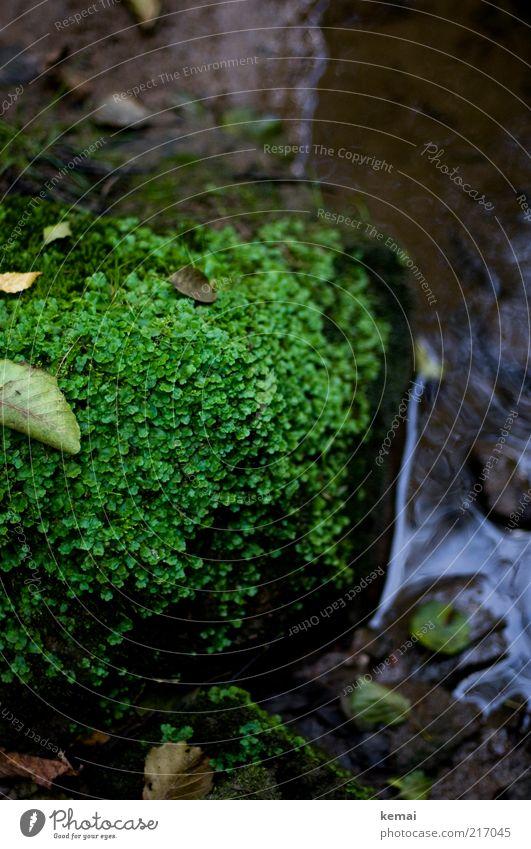 Natürliche Begrünung Umwelt Natur Pflanze Erde Wasser Sommer Herbst Moos Blatt Grünpflanze Wildpflanze Bach Fluss Stein dunkel nass feucht kalt Farbfoto