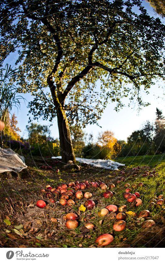 abapfeln Himmel Baum Herbst Garten Frucht mehrere Boden liegen Apfel Jahreszeiten Ernte viele Schönes Wetter Oktober Apfelbaum Obstbaum