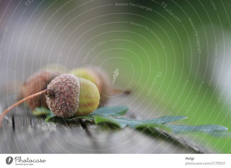 Herbstfrüchte Umwelt Natur Pflanze Blatt Eicheln Samen Baumstamm Park Holz liegen klein natürlich braun grau grün Stimmung Wandel & Veränderung 3 Eichenblatt