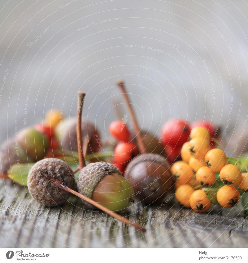 Herbstfrüchte Umwelt Natur Pflanze Blatt Frucht Eicheln Beeren Feuerdorn Stengel Park Holz liegen dehydrieren klein natürlich rund braun gelb grau grün rot