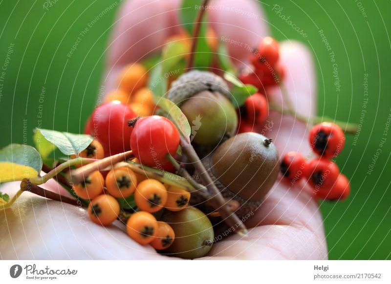 herbstliches Sammelsurium Hand Finger Umwelt Natur Pflanze Herbst Blatt Wildpflanze Frucht Beeren Eicheln Hagebutten Feuerdorn Park liegen authentisch klein
