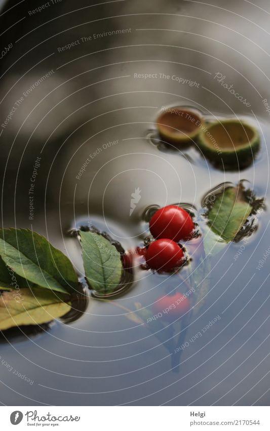 schwimmende Herbstfrüchte Umwelt Natur Pflanze Wasser Blatt Wildpflanze Beeren Hagebutten Park Schwimmen & Baden außergewöhnlich einzigartig klein nass