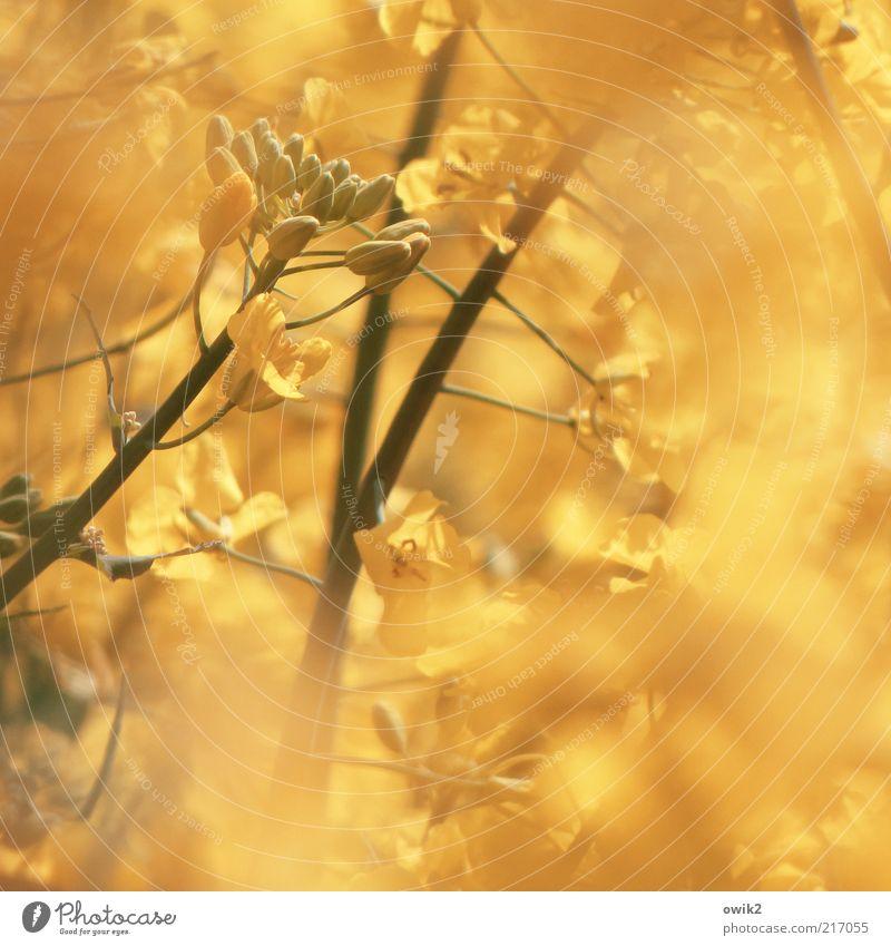 Goldfinger Umwelt Natur Pflanze Frühling Klima Wetter Blüte Nutzpflanze Raps Rapsfeld Landwirtschaft Ackerbau Futterpflanze Stengel Frucht Samen Blühend Duft