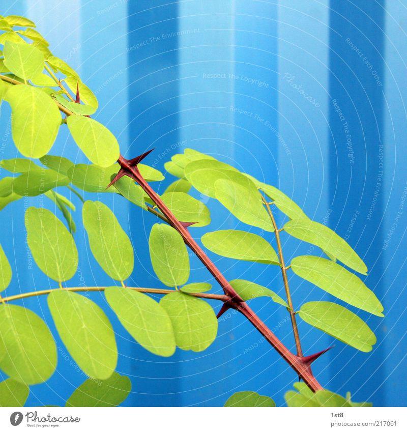 blau Pflanze ästhetisch außergewöhnlich Kontrast Blatt Robinie Wellblechwand Farbfoto Nahaufnahme Detailaufnahme Muster Strukturen & Formen Textfreiraum oben