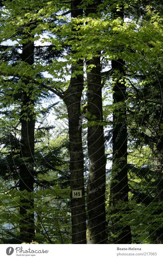 Einhundertfünfundvierzig Bäume im Wald Natur Baum grün Pflanze Sommer ruhig Leben Erholung Wege & Pfade Schilder & Markierungen Wachstum Ziffern & Zahlen