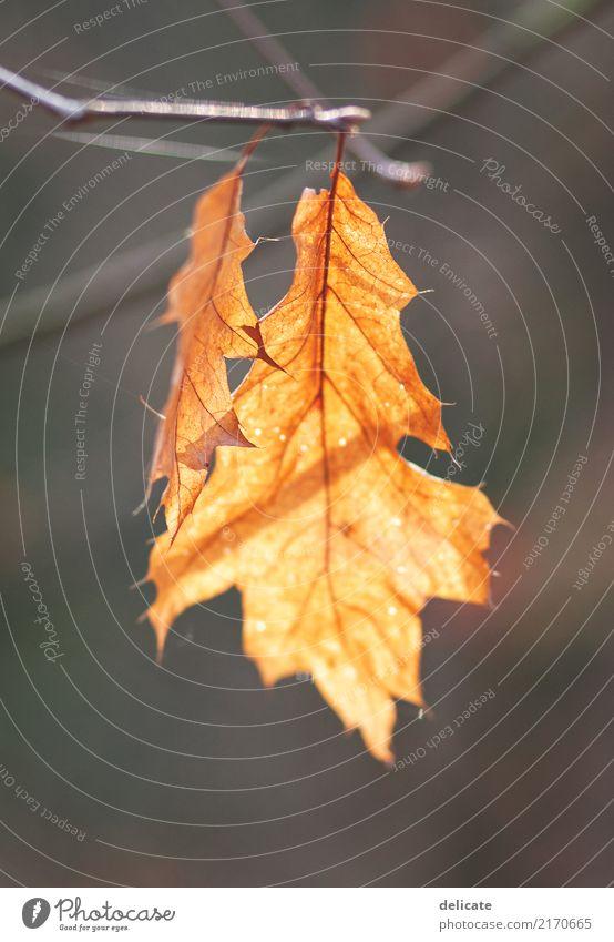 Herbst Umwelt Natur Pflanze Tier Baum Blatt Garten Park Feld Wald alt Wachstum Ast Zweig Zweige u. Äste orange Freisteller herbstlich Farbfoto Gedeckte Farben