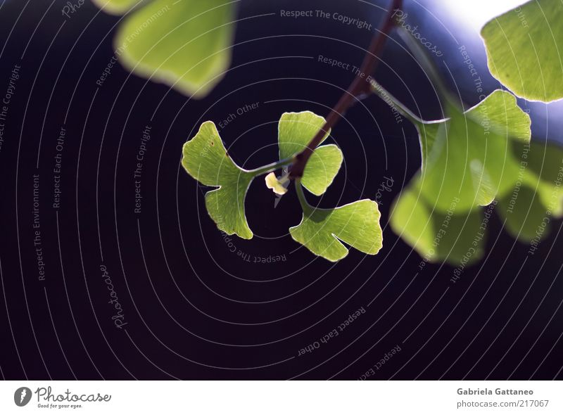 The innocentest of them all Natur grün blau Pflanze Blatt frisch Hoffnung neu Wachstum Zweig Ginkgo Blattgrün zartes Grün