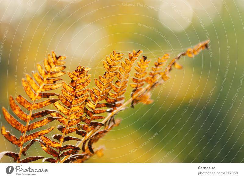 Herbst Bokeh Umwelt Natur Pflanze Schönes Wetter Farn ästhetisch authentisch dünn eckig einfach schön einzigartig nah natürlich trocken wild mehrfarbig gold