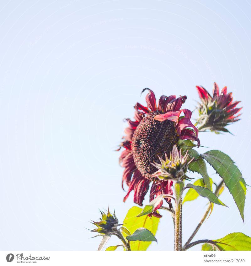 noch ein wenig sonne Natur Blume Pflanze Blatt Blüte hell Umwelt Wandel & Veränderung Vergänglichkeit Blühend Sonnenblume Schönes Wetter Blauer Himmel verblüht