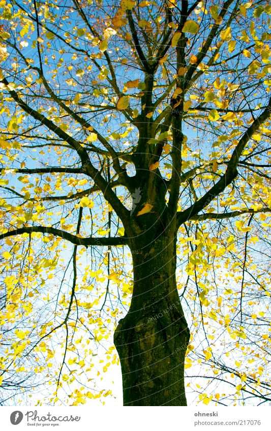 Neon Golden Natur Pflanze Wolkenloser Himmel Herbst Baum Blatt Zweige u. Äste Ast Baumstamm hell Optimismus Hoffnung Leben Farbfoto mehrfarbig Sonnenlicht