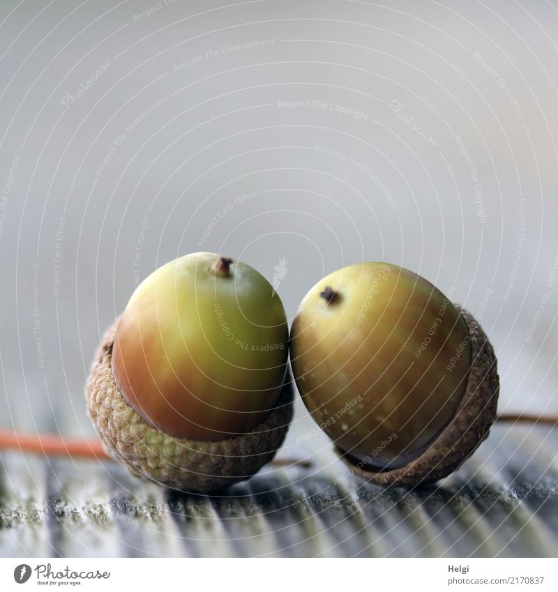 Mini-Kuschelgruppe Umwelt Natur Pflanze Herbst Eicheln Park Holz berühren liegen dehydrieren einfach Zusammensein klein natürlich braun grau grün Idylle Leben